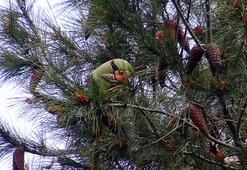 Avcılar'da şaşırtan görüntü Ağaçlar papağanla doldu