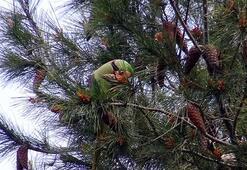 Avcılarda şaşırtan görüntü Ağaçlar papağanla doldu