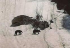 Ayder Yaylasına inen 2 boz ayı kamerada