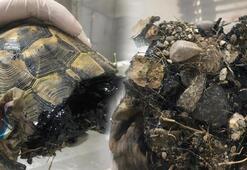 Zifte yapışan kaplumbağa tedaviye alındı