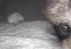 Türkiyede ilk kez görüntülenen rakun köpeği koronavirüsü insana bulaştıran hayvan olabilir