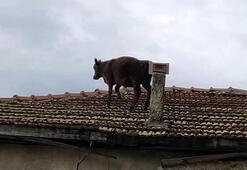 Ahırdan kaçtı, çatıya çıktı Şaşkına çeviren görüntü...