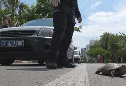 Polis, kaplumbağa için yolu kesti ve yol kenarındaki parka bıraktı