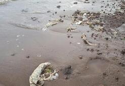 Süphan Gölünde kıyıya vuran balık iskeletleri tedirginlik yarattı