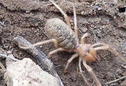 Sivasta etçil sarıkız örümceği görüntülendi