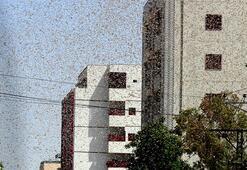 Bir anda her yeri sardılar Çekirge istilası ikinci kez vurdu: Felaket