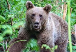 Yakalandığı domuz kapanından kurtarılan ayı yeniden ormana salındı