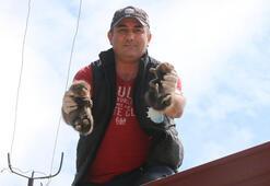 Yalovada çatıda sıkışan yavru sansarlar kurtarıldı