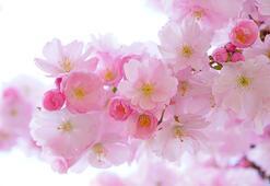 Çiçeklerin rengi nasıl oluşur