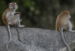 Sosyal mesafe maymunlar açısından da çok önemli