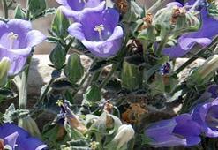 Tüylü Çan Çiçeği nedir, nerelerde yetişir  Tüylü Çan Çiçeği koparanlara ne kadar ceza verilecek