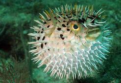 Karşınızda kirpi balığı
