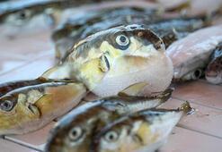 Antalyada 3 arkadaş balon balığı yiyince hastanelik oldu