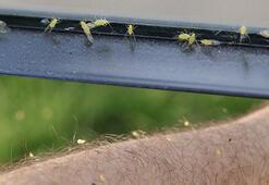 Son dakika Yılan ve çekirge şimdi de sarı sinekler Bulut şeklinde bir anda belirdiler ve...