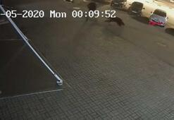 Kaldırımda yürüyen adama ayı saldırdı İşte o anlar
