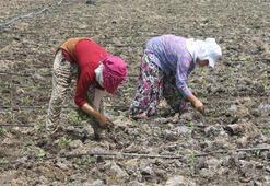 Mevsimlik tarım işçilerinin sıcak havada zorlu mesaisi