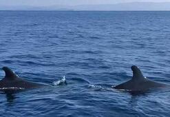 Kuzey Ege'de 25 yıl sonra yalancı katil balinalar görüldü