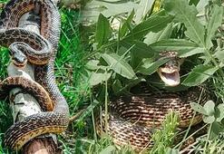 3 metrelik yılan pancar toplayan işçileri korkuttu