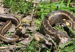 Ataş ailesinin boşalttığı evde, 60 yılan yakalandı