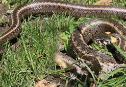 Ataş ailesinin boşalttığı evden bugüne kadar 60 yılan çıkarıldı