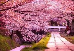 Başakşehir Şehir Hastanesi açılıyor Sakura nedir, ne anlama geliyor Başakşehir Şehir Hastanesinde adı geçen Sakura Japonca bir kelime mi