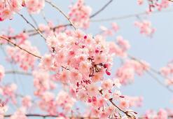Sakura nedir