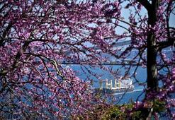 Erguvan çiçeği nedir Arguvan ağacı nasıl