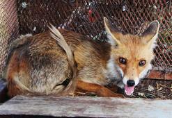 Battal Gazi filminden esinlenerek yaptı, tavuklarını yiyen kurnaz tilkiyi yakaladı
