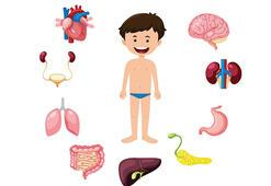 Hangi organımız nerede ve ne işe yarıyor