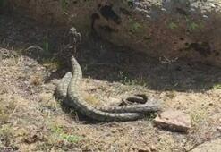 Nadir görülen yılanların dansı