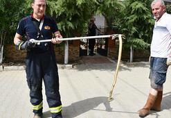 Son dakika: 2 Metreyi aşan yılanlar tedirgin ediyor Biri böyle yakalandı...