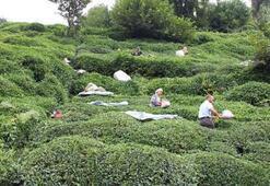 Çay hasadı için Rizeye gelenlerin sayısı 16 bini buldu