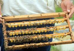 Arı sütünün kilosu 8 bin TLden satılıyor
