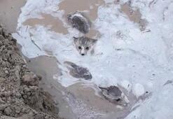 Sivasta sulama kanalından çıkan kurt yavruları şaşkına çevirdi