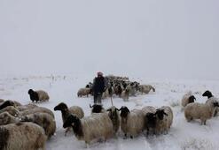 Koyunlarını yaylaya çıkaran vatandaş kar ve tipiye yakalandı