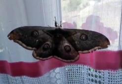 Kanat açıklığı 16 santimetreyi bulan dev kelebek şaşkına çevirdi