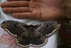 Görenleri hayran bırakan kelebek