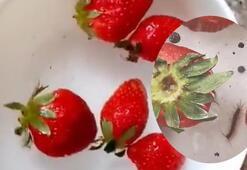 Son dakika... Gıda mühendisi uyardı Çilekte görülen kurtçukların zararı yok