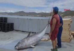 305 kiloluk dev ton balığı yakalandı