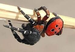 Zehirli uğur böceği örümceği Bilecikte görüldü