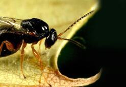 Çinli katil arılar Türkiyede görülmeye başlandı