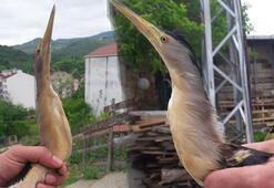Nesli tükenmekte olan balaban kuşu bu kez Sinopta ortaya çıktı