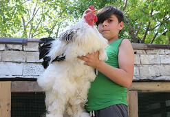 Sivastaki bu horoz ve tavuklar dev cüsseleriyle dikkat çekiyor