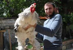 Brahma cinsi dev tavuk ve horozlar dikkat çekiyor