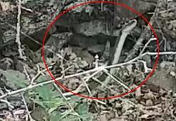 Son dakika haberleri: Trabzonda ölüme neden olan yılanlar Artvin'de de görülmeye başlandı