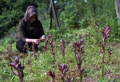 Giresun'da ilk defa oluşturulan salep tarlasında hasat yapıldı