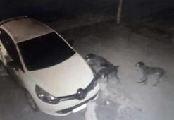 Köpekler, kedinin altına kaçtığı otomobili parçaladı
