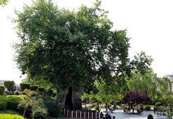 850 yaşındaki çınar ağacı zamana meydan okuyor