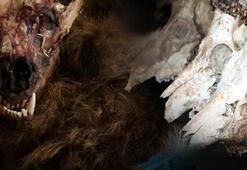 Boz ayı ve koruma altındaki karacaları avlayan kaçak avcılara ceza yağdı