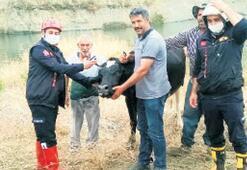İtfaiye, gölete düşen hamile ineği kurtardı